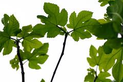 fig leaves (lawatt) Tags: tree green leaves yard leaf fig mariposa