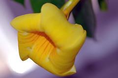 """Congratulations to """"Mimbrava"""" (katifelkai) Tags: flowers garden mimbrava alamanda"""