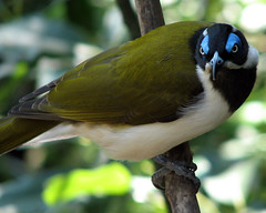 Blue-Faced Honeyeater (Timmy Toucan) Tags: blue bird canon wildlife gorgeous australian australia melbourne powershot honey faced bluefacedhoneyeater cyanotis entomyzon honeyeater entomyzoncyanotis s2is s2 eater