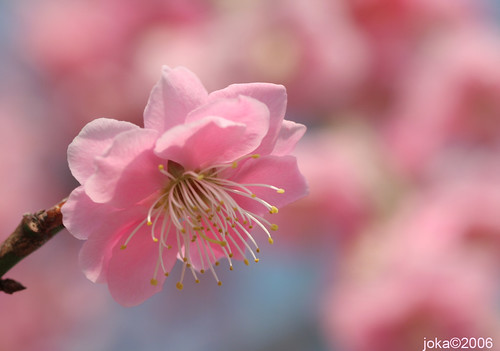 One More Plum Blossom