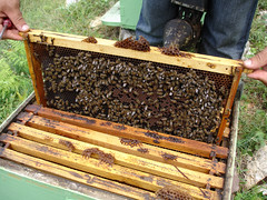 Bees in hive (allispossible.org.uk) Tags: poverty farmers bees hexagonal traditional poor harvest bee honey albania honeycomb hive oxfa