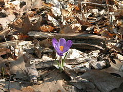 110-1020_IMG (noahg.) Tags: brown flower leaves spring woods purple crocus springflower
