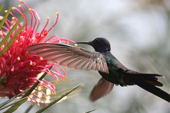 Beija-flor Tesoura (Eupetomena macroura) - Swallow-tailed Hummingbird 20 072 - 8 (Flvio Cruvinel Brando) Tags: flowers brazil naturaleza flores flower color detail macro bird love nature colors birds animal animals braslia closeup brasil out ilovenature flying top20animalpix topf75 colorful dof hummingbird close bokeh topv1111 details natureza flor flight free passarinho pssaro aves loveit ave brazilian hummingbirds pajaro lovely fiori animais pssaros brasileiro beijaflor flvio grevillea feathery vo colibri voando iloveit picaflor swallowtailed beijaflortesoura colibris birdsoftheworld featheryfriday outstandingshots eupetomenamacroura beijaflores clibris picaflores animaladdiction swallowtailedhummingbird specanimal eupetomenamacrourus flviocruvinelbrando top20bokeh eupetomena world100f