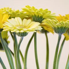 Daisies (bentilden) Tags: flower green yellow topv111 pentax stems daisy gerberadaisies istdl