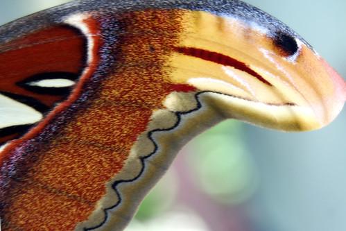 Atlas Moth 2 The Atlas Moth has the