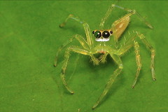 Female Yellow-Lined Epeus (Epeus Flavobilineatus) (spilopterus) Tags: spider spiders arachnids canonpowershots2is 85points fantasticanimalphotos