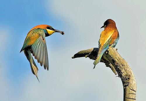 Abelharuco - Bee-eater - Merops apiaster