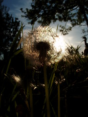 Stardust 2 (arte_molto_brutta_2) Tags: flowers sky sun rome backlight dandelion shining tryingtomakemacros thebiggestgroup