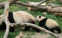 Mommy! Wait for me please.. (somesai) Tags: zoo cub smithsonian panda tai nationalzoo endangered pandas meixiang taishan babyanimals dczoo butterstick pandaunlimited
