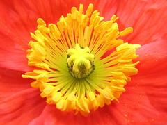 Poppy By Poppy (Poppy Wright) Tags: flower macro yellow salmon pistil stamen poppy pollen pettals