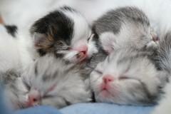 DALLAS, DOLORES, DAISY & DORIS (Anders Viklund) Tags: cat persian kitten sweden kittens gatos exotic gato sverige gatitos katter kattungar suecia katt perser innekattens persas