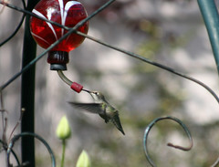 hummingbird (Debbie G) Tags: bird tag3 taggedout garden tag2 tag1 hummingbird searchthebest 2006 victoria april ornithology birdwatching