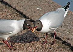 Dinner for Two (Marko_K) Tags: birds tag3 taggedout ilovenature tag2 tag1 gull larusridibundus blackheadedgull naurulokki