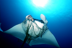 Entangled Manta (ScottS101) Tags: rescue fish net ilovenature interestingness interesting fishing destruction burma indianocean conservation animalrights litter pollution environment myanmar knives nets suffering manta allrightsreserved mantaray cruelty knive fisheries elasmobranch ilovetheocean animalkingdomelite ghostnet animalencountersingle copyrightscottsansenbach2008