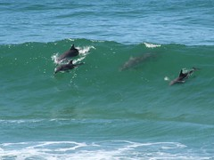 Dolphins surfing at Fingal Heads (qajaq1) Tags: ocean sea nature ilovenature interestingness cool surf australia dolphins newsouthwales i500 fingalheads dolphinssurfing surfingdolphins