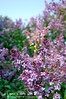 2006/04/15 07:51 (giggle1025) Tags: china flowers d50 garden ilovenature botanical spring nikon purple beijing 2006 nikond50 lilac clove notpicked beijingbotanicalgarden ihaveadatewithspring
