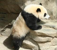 Tippy toe (somesai) Tags: zoo cub smithsonian panda tai nationalzoo endangered pandas meixiang taishan babyanimals dczoo butterstick pandaunlimited