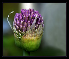 blossom of onion (Rainer Fritz) Tags: flowers flower macro onion zwiebel naturesfinest