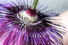 Purple Passion 3 (Melisa Taylor) Tags: flower macro canon20d passionflower canonef100mmf28macrousm ccmpclosencounter