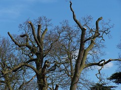 Odd tree shapes (rutty) Tags: nottinghamshire clumberpark