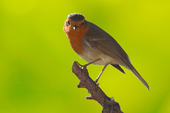 European Robin (PauloSantos) Tags: bird nature birds animal canon ilovenature 500v20f top20wings erithacusrubecula piscodepeitoruivo gutentag wildlife birdsinportugal avesemportugal aves 2550fav wildanimal ornithology birdwatching europeanrobin 500v d60 f33 555v5f featheryfriday top20birdshots 400v20f specnature