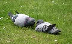 Love (svet) Tags: friends love birds kiss amor pigeons pair bilbao 100club moo2 dsch1 phc