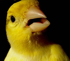 goodnite :-) (Gosia Margosia) Tags: portrait bird face yellow beak goodnight canary francesco lullaby canarybird featheryfriday