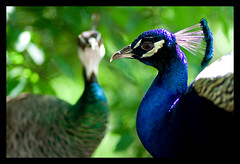 A Pair of Peacocks (Jonathan Urrutia) Tags: blue green contrast austin mayfield peacocks mayfieldpark bokehphotooftheday bokehsonicejuly bokehsonicejuly27