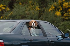 STOP taking photos (C Buckley) Tags: road dog beagle dogs car driving roadtrip wellington ontheroad berkley beagles wellingtonregion