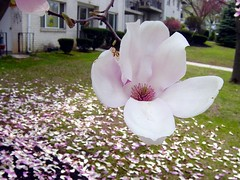Tulip magnolia tree flower (Martin LaBar (going on hiatus)) Tags: pink flowers flower petals pennsylvania magnolia tuliptree magnoliaceae thecontinuum 2for2 magnolialiliiflora p1f1 5for2 exceptionalflowers