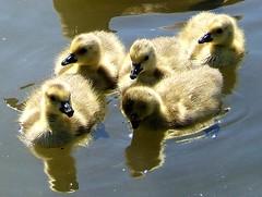 Cute Little Ones... (shesnuckinfuts) Tags: geese pond backyard animalplanet newbeginnings kentwa saywa experiencewa animaladdiction photodotocontest1 shesnuckinfuts