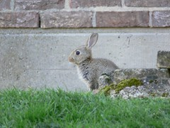 An innocent-looking rabbit outside the library at the University of Kent.