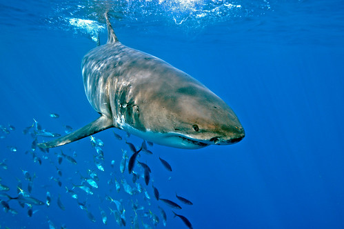 Great White Shark Followed off Guadalupe Island