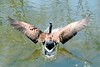 goose landing4346 (erglantz) Tags: water de flight goose delaware mireasrealm photodotocontest1