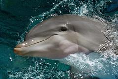 dolphin (Leo Reynolds) Tags: holiday usa nevada lasvegas dolphin fauna animal scoutleol30 leol30random groupallanimals titanhitour2006 titanhitour scoutleol30set canon eos 350d 0003sec f10 iso100 80mm 1ev xepx xexflx xexplorex xscoutx mammal xleol30x xxplorstatsx hpexif xratio3x2x xx2006xx