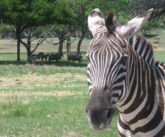 Grant's Zebra (Mike McInnis) Tags: white black green face grass animals photoshop texas wildlife stripe zebra glenrose fossilrim grantszebra