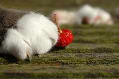 Luna (MiChaH) Tags: red animals cat paw kat rood dieren poot