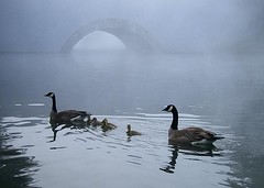 Foggy Morning..... (shesnuckinfuts) Tags: fog geese pond backyard animalplanet kentwa featheryfriday saywa experiencewa animaladdiction photodotocontest1 shesnuckinfuts aksubjectmatterfamily