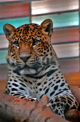 mauwf (bea2108) Tags: beautiful animal animals zoo bigcat