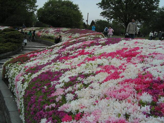 azalea carpet