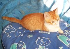 Pillow with cats (Bibi) Tags: blue light orange cute azul cat bed kitten chat shadows laranja kitty 2006 pillow bleu gato luzes thisone cama sombras almofada truffaut gatinho chaton cobertor