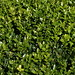 Photo: Buxus sempervirens