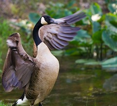 Defending His Love (Mat Malone) Tags: lake reflection bird water geese nc pond couple durham pair northcarolina goose waterfowl companion durhamnc interestingness470 specanimal