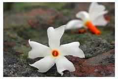 Flowers of Bengal | Bengal / Bangla | Flickr