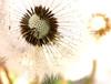 weeds8 (michele cat) Tags: macro spring weeds backyard dandelions wishflowers flickrchallengewinner