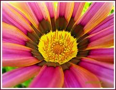 Gaznia ( Graa Vargas ) Tags: flower macro topv111 gazania multicolored topvaa interestingness36 i500 graavargas 2006graavargasallrightsreserved 98925280810