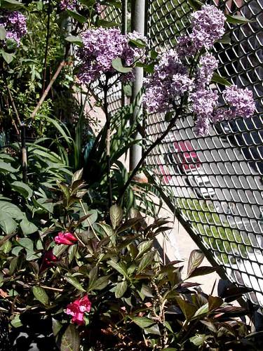 Lilac, weigela