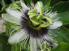 Have passion in life ! (Lydd_Nel) Tags: flowers white flower macro green passion passiflora passionflower excellence iloveit lydd interestingness225 i500 explore08may06 mywinner bfv10