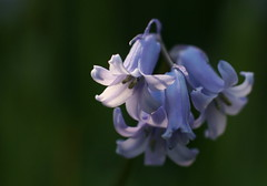 (curiouz) Tags: macro nature ilovenature spring hyacinth 50mmf14 extensiontube