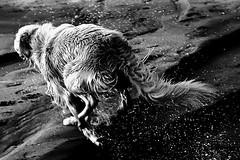 (aznym) Tags: ireland sea blackandwhite bw dog beach wet swim play run bathe splash malahide xion utatafeature aznym wwwaznymcom